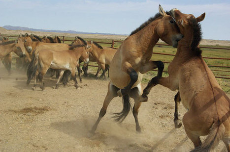 Endangered horses released into the wild |Society |chinadaily.com.cn | Equine | Scoop.it