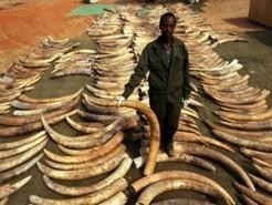 187 pointes d'ivoire fraîches saisies dans la capitale camerounaise | Cameroun Tourisme, cultures et nature | Scoop.it