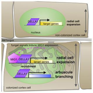 Symbiotic Fungi Control Plant Root Cortex Development through the Novel GRAS Transcription Factor MIG1 | Plant-Microbe Symbiosis | Scoop.it