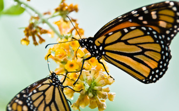 Sick Butterflies and Ants Treat Themselves with Medicine - Care2.com (blog) | science in the news: evolutions | Scoop.it