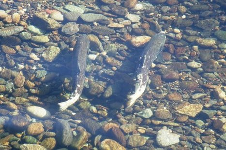 $700 million plan to help salmon habitat faces new challenge - Walla Walla Union-Bulletin | Fish Habitat | Scoop.it