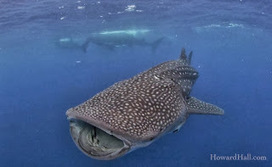 Shark Attack News: Video: Majestic Whale Sharks & Manta Rays at Isla Mujeres Island, Mexico | Scuba Diving | Scoop.it