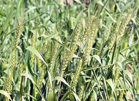 India: Inclement weather likely to hit wheat output in Punjab, Haryana | Wheat | Scoop.it