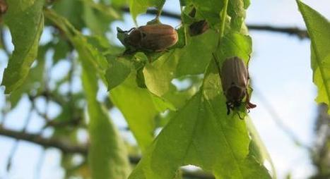 Oise. L'invasion des hannetons se poursuit par les airs, en forêt | Variétés entomologiques | Scoop.it