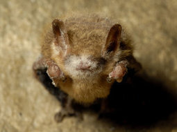 BLM Proposes Plan to Slow Spread of WNS to Colorado | The Wildlife Society News | Bat Biology and Ecology | Scoop.it