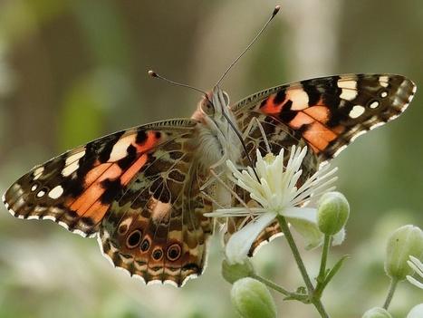 Comment les papillons de vos jardins sont liés aux prairies, forêts et bords des champs qui les entourent | Vigie Nature | EntomoNews | Scoop.it