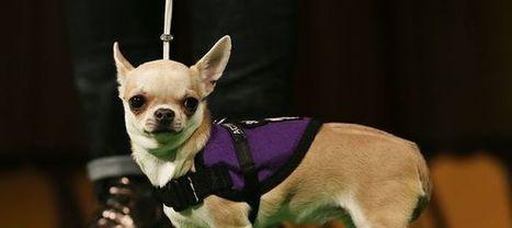 Mon chien a la truffe chaude : a-t-il de la fièvre ? | CaniCatNews-santé | Scoop.it