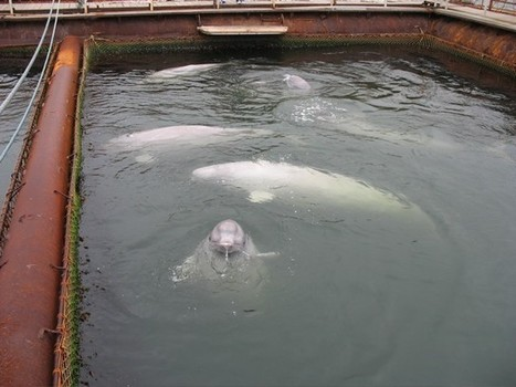 And the beluga whale factory farm era begins - NOT! | Cove Blue for Jiyu | Makamundo (Earthly) | Scoop.it