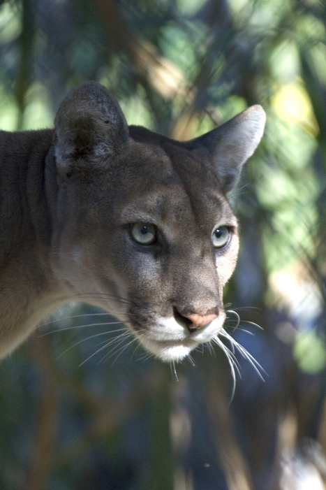 #Animales en el parque -Pantera gris   Parque Nacional Everglades de Florida USA   Scoop.it