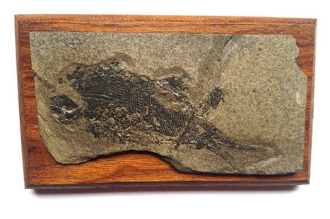 Mounted Cretaceous fossil fish, fish scales, palaeontology, paleontology, unknown species, fossil collector, teaching specimen, wall hanging | Palaeontology News | Scoop.it