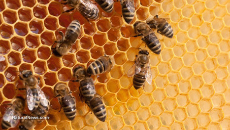 Pls RT #URGENT 'Bees Extinction, Humanity's TOO - 100,000 beekeepers urge Germany to ban #GMOs as biotech industry monsanto, dupont, etc. destroys their livelihood and environment' | News You Can Use - NO PINKSLIME | Scoop.it