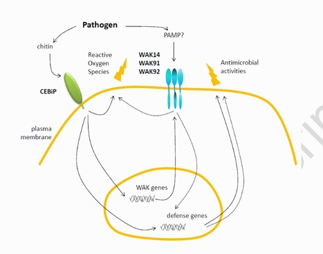 Three Wall-Associated Kinases required for rice basal immunity form protein complexes in the plasma membrane | Rice Blast | Scoop.it