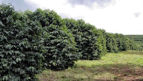 Café : troisième année de déficit mondial | PRODUITS AGRICOLES ET MARCHES - AGRICULTURAL PRODUCTS AND MARKETS | Scoop.it