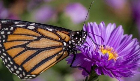 Monsanto Blamed For Monarch Butterfly Deaths - The Inquisitr | GMOs: The Untold Story | Scoop.it