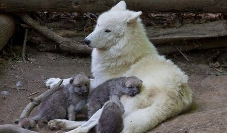 White Wolf : Watch: Adorable Arctic Wolf Pups Will Totally Make Your Day | De Natura Rerum | Scoop.it