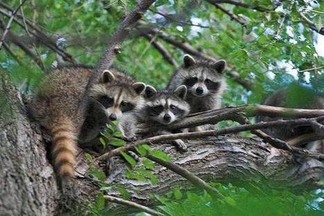 Surprise delivery as baby raccoons found on agency's doorstep | In Today's News of the Weird | Scoop.it