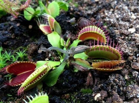 Les plantes carnivores / France Inter   EntomoScience   Scoop.it