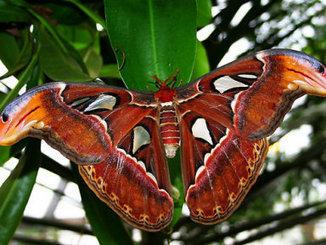 Indian naturalists find giant moth in Western Ghats - Indileak   silk & sericulture   Scoop.it