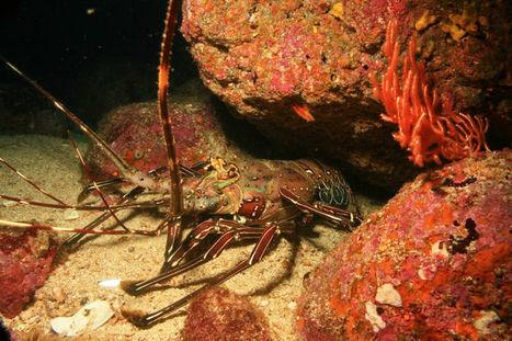 Blog: Lobster Tale | Scuba & Underwater News | Scoop.it