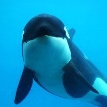 Killer Whales on Valium: Common Practice? : DNews | All about water, the oceans, environmental issues | Scoop.it