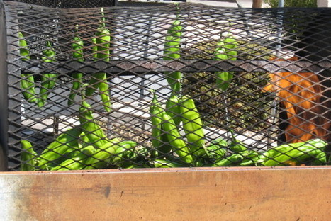 TEMECULA: Sixth Annual New Mexico Chile Festival on tap | what to do in New Mexico | Scoop.it