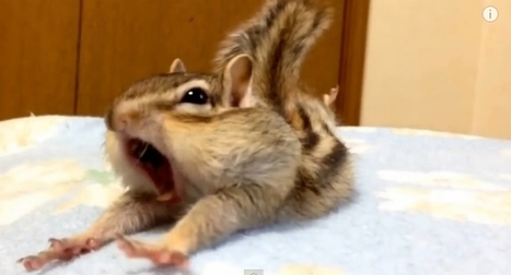 White Wolf : Adorable Chipmunk Yawns and Stretches (Video) | Oceans and Wildlife | Scoop.it