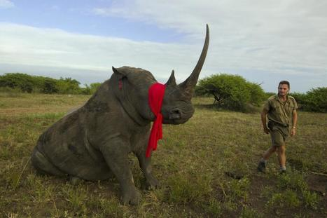 Largest Rhino Airlift Ever to Move 100 At-Risk Animals | What's Happening to Africa's Rhino? | Scoop.it