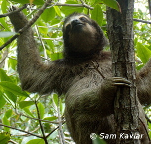 Survey of Critically Endangered Pygmy Sloths Finds Just 79 Animals Remain | Quite Interesting News | Scoop.it