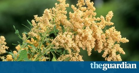 Scientists go against the grain to make Dubai an unlikely quinoa hotspot | Peter Schwartzstein | Food issues | Scoop.it