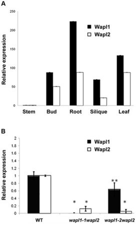 Arabidopsis thaliana WAPL Is Essential for the Prophase Removal of Cohesin during Meiosis | PlantBioInnovation | Scoop.it