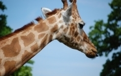 Genome Sequencing Reveals Differences Between Giraffes and Ocapi | Amazing Science | Scoop.it