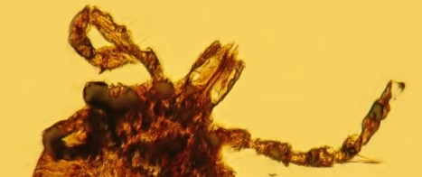 Amber discovery indicates Lyme disease is older than human race | Amazing Science | Scoop.it