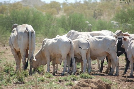 Are feedlots an option for northern live export cattle? | The #Agvocate | Scoop.it