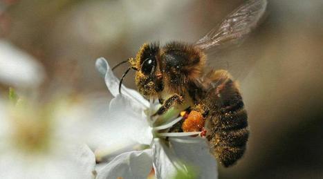 Ils veulent sauver dare-dare l'abeille d'Ouessant | abeille noire | Scoop.it