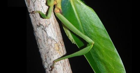Species New to Science: [Entomology • 2016] Emsleyfolium diasae • A New Genus of Katydid from the Amazon Rainforest (Orthoptera: Tettigoniidae; Phaneropterinae; Steirodontini): Ninth Contribution t... | Rainforest EXPLORER:  News & Notes | Scoop.it