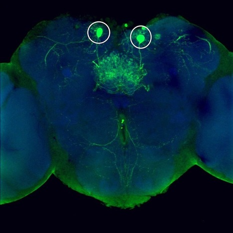 Cold Spring Harbor Laboratory   Study shows how neurons enable us to know smells we like and dislike, whether to approach or retreat   Brain & Learning   Scoop.it