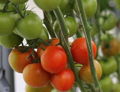 Tomato Source - Landline - ABC | Agrarforschung | Scoop.it