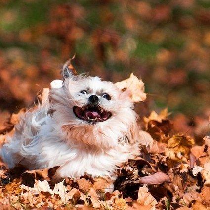 Top 16 des chiens qui s'amusent comme des cons dans les feuilles mortes d'automne | Trollface , meme et humour 2.0 | Scoop.it