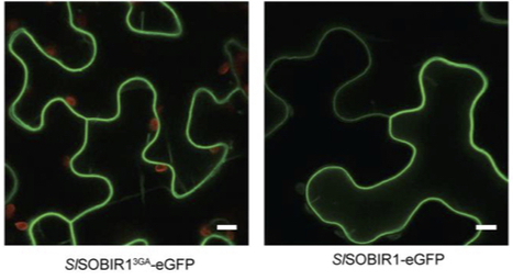 Mol Plant Path: SOBIR1 requires the GxxxG dimerization motif in its transmembrane domain to form constitutive complexes with receptor-like proteins (2015) | Publications from The Sainsbury Laboratory | Scoop.it