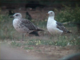 surfbirds.com - Lesser Black-backed Gull Ageing Discussion   Bird ID   Scoop.it