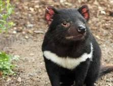 Captive-bred Tasmanian devils thriving on Maria Island, free from facial tumors | Amazing Science | Scoop.it