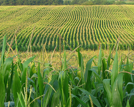 More science needed on effects of genetically modifying food crops | Let the EARTH provide! | Scoop.it