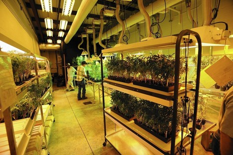 Government approves medical marijuana research | Mellow D Camp | Scoop.it