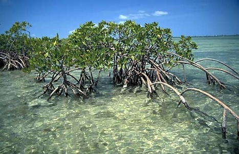 Mangrove Trees | Mangrove Swamp | Scoop.it