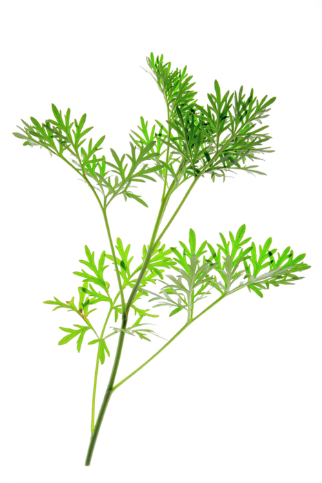 Sweet Wormwood Plant Medicinal Uses for Parasites and Malaria | Nootropics | Scoop.it