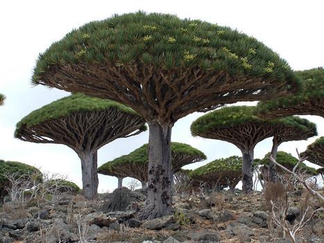 Socotra Dragon Trees from the Socotra Archipelago | Harmony Nature | Scoop.it