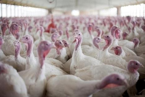 Des experts contre les antibiotiques dans l'élevage   Shabba's news   Scoop.it