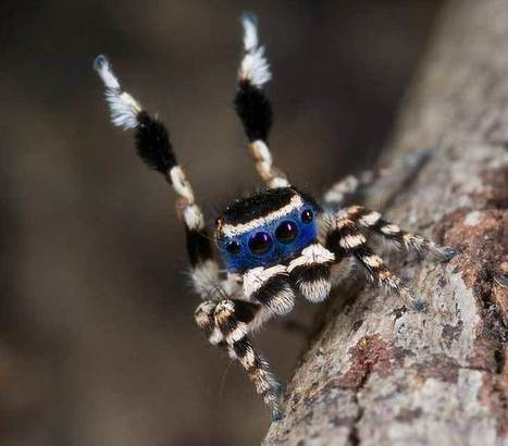 Esta araña pavo real está lista para un baile de máscaras | Bichos en Clase | Scoop.it
