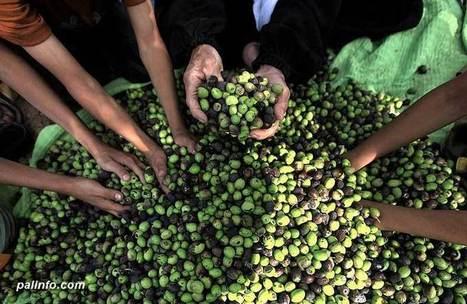 PHOTOS | Olive Harvest in Palestine - 2013 | Occupied Palestine - In Photos | Scoop.it