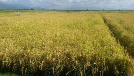 Tanzanian rice swells yield from salty soil | Scinnovation | Scoop.it